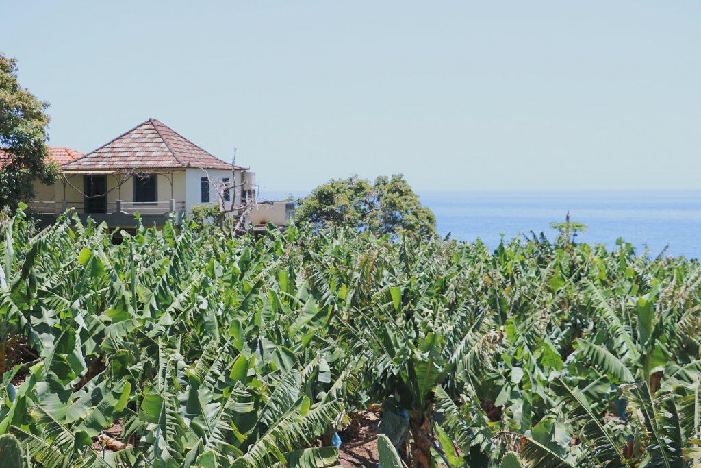 TMT_Travel_Guide_Madeira_Bananenplantage